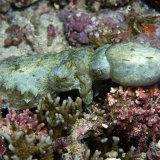 Pygmy Cuttle fish fighting