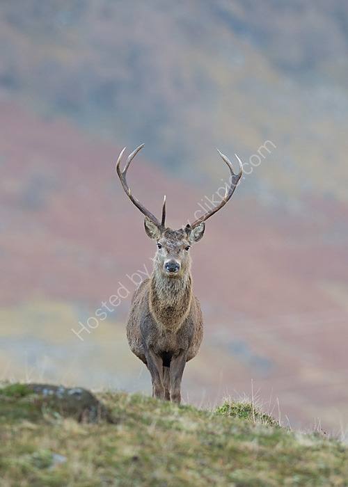 Red Deer stag in Caingorms