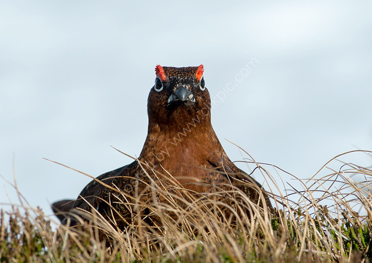 Red Grouse displaying