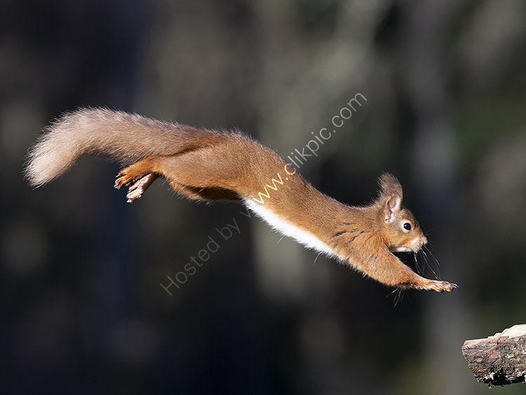 Red Squirrel In full flight