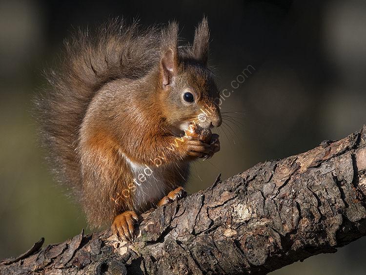 Red Squirrel and hazelnut