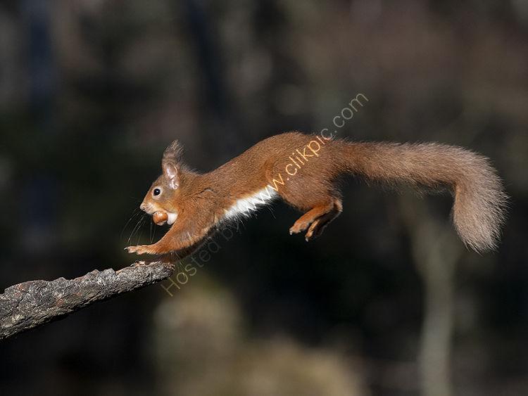 Red Squirrel landing