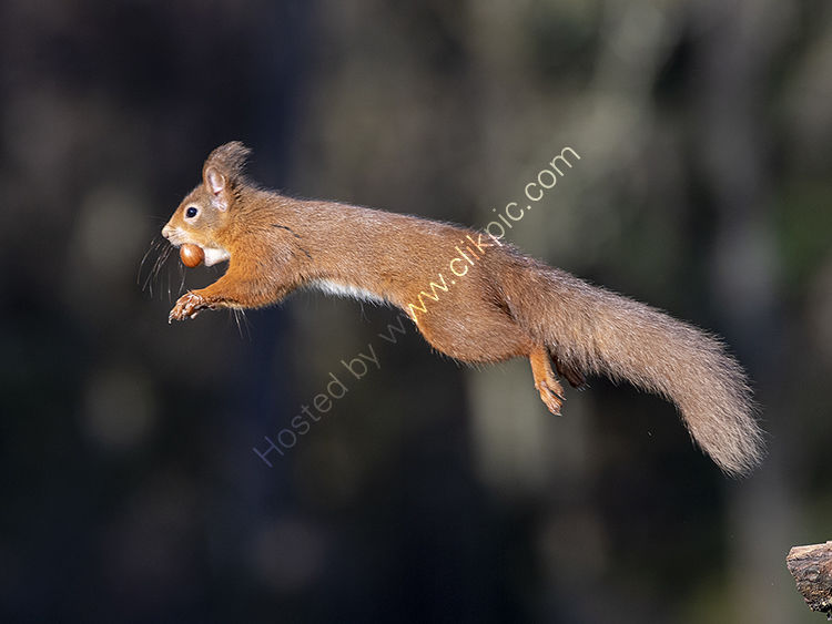Red Squirrel taking off