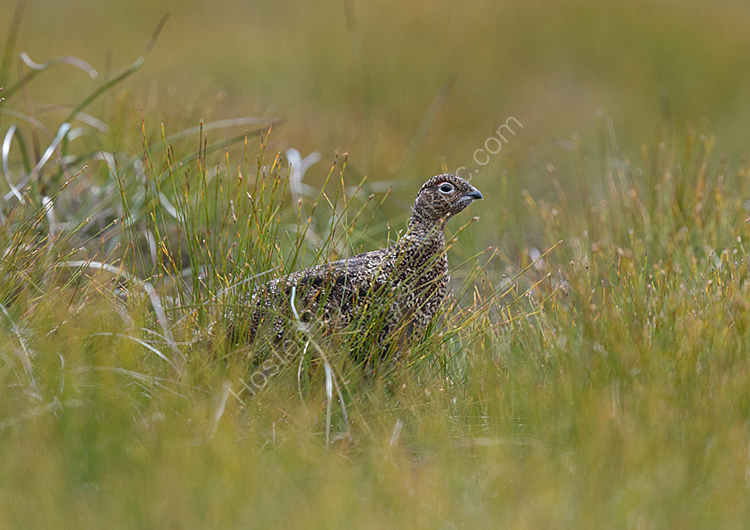 Red grouse in grass