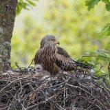 Red kite on nest