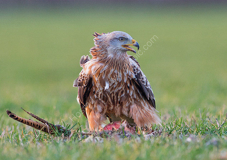 Red kite on pheasant