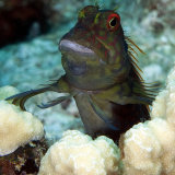 Red spotted blenny