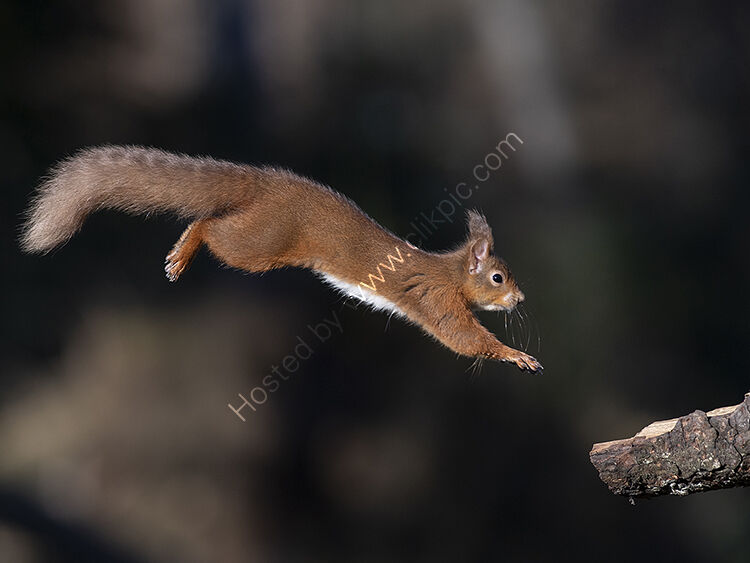 Red squirrel at full stretch