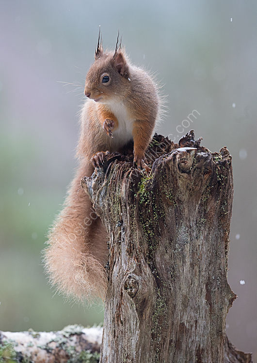 Red squirrel in woodland