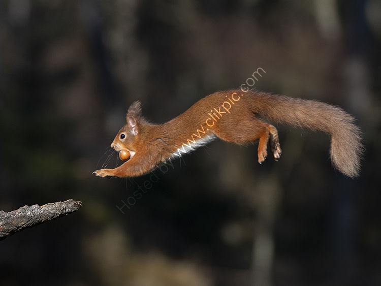 Red squirrel jumping with nut
