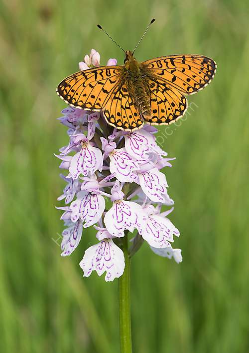 SPBF on spotted orchid