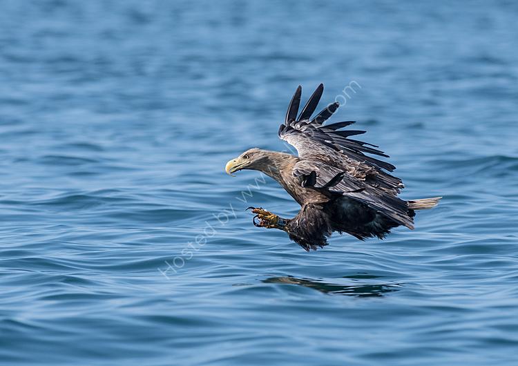 Sea eagle fishing