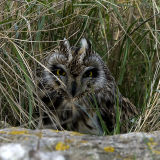 Short eared owl hiding