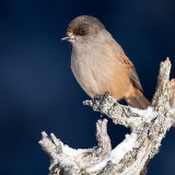 Siberian Jay in the sun