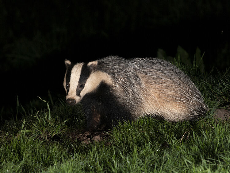 Side view of badger