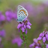 Silver studded blue on heather