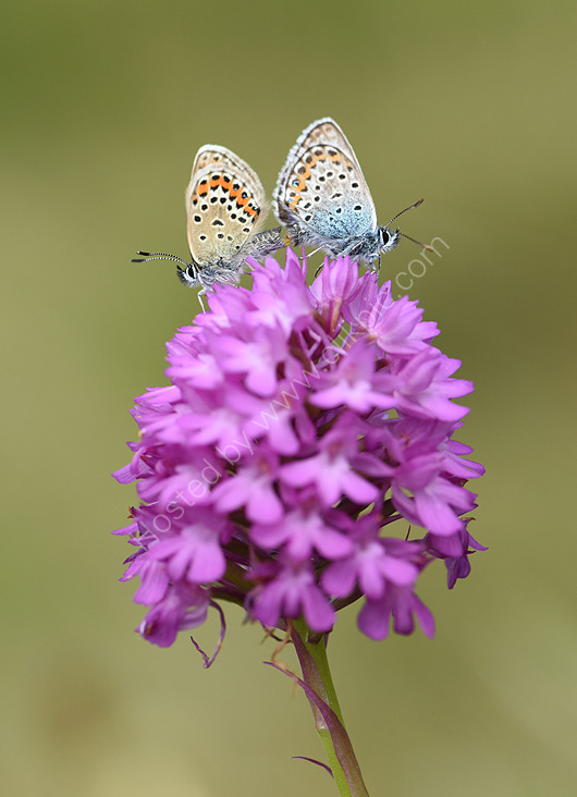 Silver studded blues mating