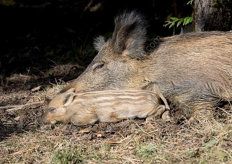 Sow and wild baor piglet asleep