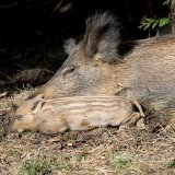 Sow and wild baor piglet asleep