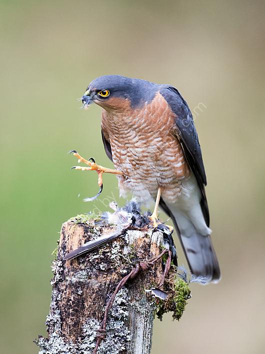 Sparrowhawk plucking chaffinch