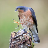 Sparrowhawk plucking chaffinch