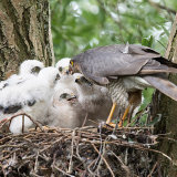 Sparrowhawk with a big brood