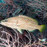 Spotted rock cod