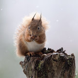 Squirrel in sleet