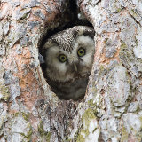 Tengmalns owl on nest