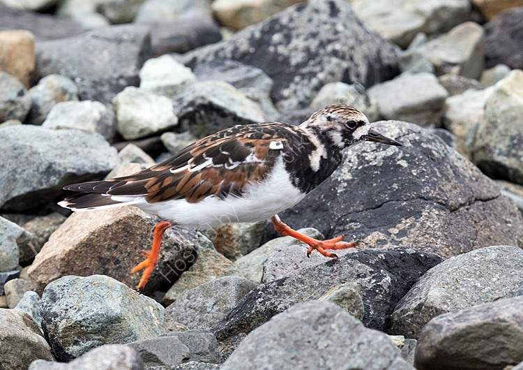 Turnstone on the run