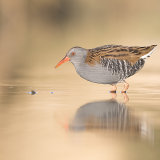 Water rail in morning sun