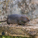 Water vole on bridge