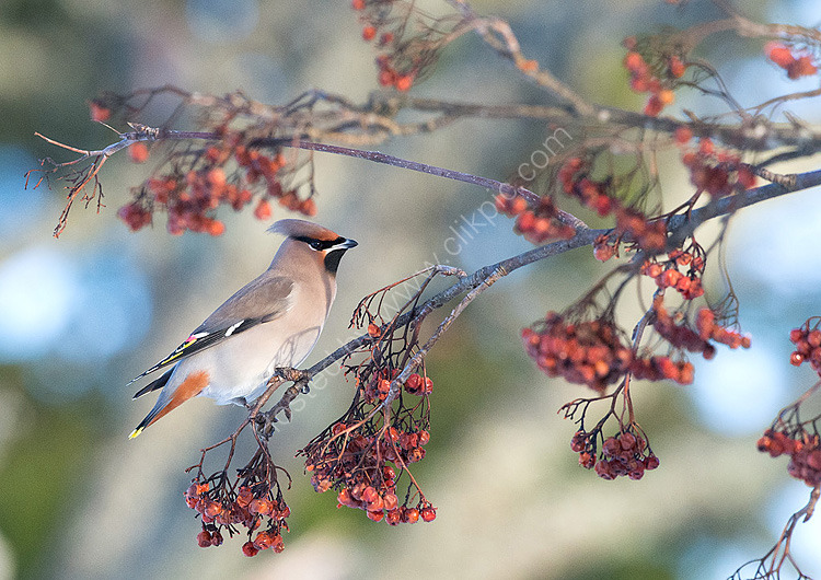 Waxwings in berries