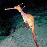 Weedy Sea Dragon NSW