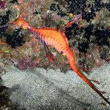 Weedy Sea Dragon Sydney NSW