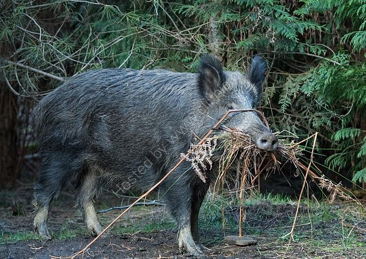 Wild boar nesting