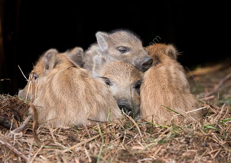 Wild boar piglets asleep