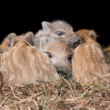 Wild boar piglets asleep