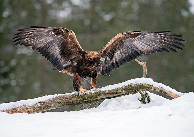 Wingspan male golden eagle