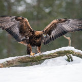 Wingspan male golden eagle