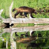 Wolverine crossing pond