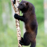 Wolverine in tree