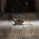 Wood mouse through floorboards