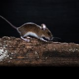 Woodmouse running