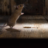 Woodmouse standing