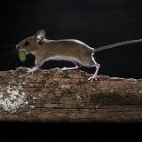 Woodmouse with catkin