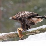 Young eagle on-prey