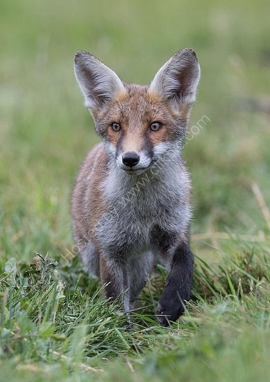 Young fox approaching