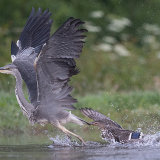 Young heron being chased by duck