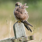 Young kestrel preening